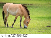 Купить «Przewalski's horse in a clearing », фото № 27996427, снято 16 января 2019 г. (c) PantherMedia / Фотобанк Лори