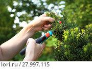 Купить «yew,green coniferous shrub.», фото № 27997115, снято 17 сентября 2019 г. (c) PantherMedia / Фотобанк Лори
