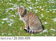 Купить «Cat on the Lawn», фото № 28000499, снято 27 июня 2019 г. (c) PantherMedia / Фотобанк Лори