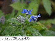 Купить « blue borage flowers in detail in the garden (borago officinalis)», фото № 28002435, снято 21 ноября 2018 г. (c) PantherMedia / Фотобанк Лори