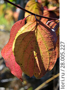 Купить «autumn leaf», фото № 28005227, снято 27 мая 2019 г. (c) PantherMedia / Фотобанк Лори