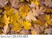 Купить «background made of autumn leaves», фото № 28010483, снято 19 февраля 2019 г. (c) PantherMedia / Фотобанк Лори