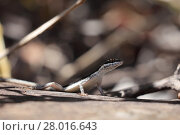 Купить «lizards in caatinga of brazil», фото № 28016643, снято 23 марта 2019 г. (c) PantherMedia / Фотобанк Лори