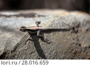 Купить «lizards in caatinga of brazil», фото № 28016659, снято 23 марта 2019 г. (c) PantherMedia / Фотобанк Лори