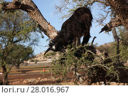 Купить «carnivorous goat on anger», фото № 28016967, снято 21 марта 2018 г. (c) PantherMedia / Фотобанк Лори