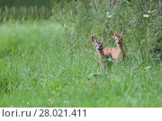 Купить «Young roe deers in a clearing », фото № 28021411, снято 25 июня 2019 г. (c) PantherMedia / Фотобанк Лори