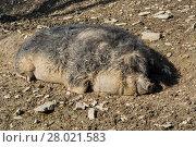 Купить «european wild boar in the mud», фото № 28021583, снято 22 августа 2018 г. (c) PantherMedia / Фотобанк Лори