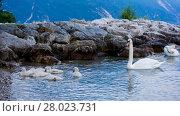Купить «Swans on the lake. Swans with nestlings. Swan with chicks. Mute swan family.», фото № 28023731, снято 20 июня 2019 г. (c) PantherMedia / Фотобанк Лори