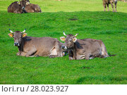 Купить «cows in a grassy field. Herd of cows. Cows on the field», фото № 28023927, снято 24 февраля 2018 г. (c) PantherMedia / Фотобанк Лори