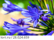 Купить «agapanthus (agapanthus) are the jewelry lily family (agapanthoideae) in the family amaryllis (amaryllidaceae).», фото № 28024659, снято 5 июня 2020 г. (c) PantherMedia / Фотобанк Лори