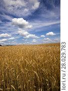 Купить «unripe cereals , field», фото № 28029783, снято 19 февраля 2019 г. (c) PantherMedia / Фотобанк Лори