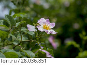 Купить «the blossoming dogrose, branch with a flower», фото № 28036851, снято 26 марта 2019 г. (c) PantherMedia / Фотобанк Лори