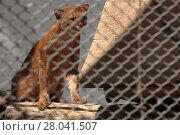 Купить «the south american weasel cat jaguarundi», фото № 28041507, снято 20 августа 2018 г. (c) PantherMedia / Фотобанк Лори