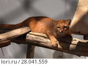 Купить «the south american weasel cat jaguarundi», фото № 28041559, снято 20 августа 2018 г. (c) PantherMedia / Фотобанк Лори