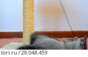 Купить «Gray british kitten playing with toy and scratching post», видеоролик № 28048459, снято 7 июня 2017 г. (c) Володина Ольга / Фотобанк Лори
