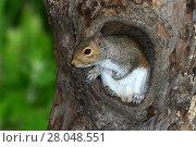 Купить «Grey squirrel (Sciurus carolinensis) in hollow tree. Dorset, UK June.», фото № 28048551, снято 24 мая 2018 г. (c) Nature Picture Library / Фотобанк Лори