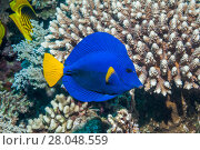 Купить «Yellowtail tang or Yellowtail surgeonfish (Zebrasoma xanthurum), Red Sea, Egypt. January.», фото № 28048559, снято 25 сентября 2018 г. (c) Nature Picture Library / Фотобанк Лори