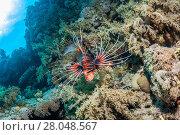 Купить «Clearfin / Radial lionfish (Pterois radiata) Egypt. Red Sea, January.», фото № 28048567, снято 25 сентября 2018 г. (c) Nature Picture Library / Фотобанк Лори