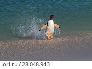 Купить «Gentoo penguin (Pygoscelis papua) jumping out of the sea, Bleaker Island, Falkland Islands, November.», фото № 28048943, снято 25 марта 2019 г. (c) Nature Picture Library / Фотобанк Лори