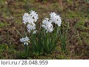 Купить «Paperwhite narcissus (Narcissus papyraceus) Bocca do Rio Algarve Portugal, February.», фото № 28048959, снято 20 мая 2019 г. (c) Nature Picture Library / Фотобанк Лори