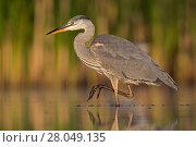 Купить «RF - Grey Heron (Ardea cinerea) standing at the edge of a pond. Valkenhorst Nature Reserve, Valkenswaard, The Netherlands June», фото № 28049135, снято 19 марта 2018 г. (c) Nature Picture Library / Фотобанк Лори