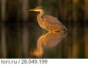 Купить «Grey Heron (Ardea cinerea) standing at the edge of a pond in the early morning sunlight. Valkenhorst nature reserve, Valkenswaard, The Netherlands, June.», фото № 28049199, снято 19 марта 2018 г. (c) Nature Picture Library / Фотобанк Лори