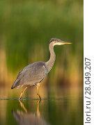 Купить «Grey Heron (Ardea cinerea) standing at the edge of a pond. Valkenhorst Nature Reserve, Valkenswaard, The Netherlands. July», фото № 28049207, снято 5 июля 2020 г. (c) Nature Picture Library / Фотобанк Лори