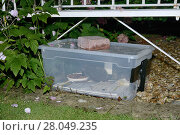 Купить «Hedgehog (Erinaceus europaeus) feeding on meat-based hedgehog pellets in a home-made hedgehog feeder box with a narrow entrance designed to exclude cats...», фото № 28049235, снято 21 июля 2018 г. (c) Nature Picture Library / Фотобанк Лори