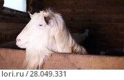 Купить «White goat looks out from behind a wooden fence on a farm», видеоролик № 28049331, снято 11 февраля 2018 г. (c) Алексей Кузнецов / Фотобанк Лори