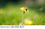Купить «Honey bee gathering blossom dust on dandelion», видеоролик № 28050827, снято 24 января 2019 г. (c) Данил Руденко / Фотобанк Лори