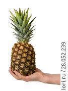 Купить «Big pineapple in female hand isolated on white», фото № 28052239, снято 22 декабря 2017 г. (c) Сергей Молодиков / Фотобанк Лори