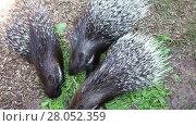 Купить «Three porcupine eating green grass in zoo», видеоролик № 28052359, снято 4 августа 2016 г. (c) Алексей Кузнецов / Фотобанк Лори