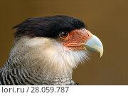 Купить «Southern crested caracara (Polyborus plancus) adult head portrait», фото № 28059787, снято 25 апреля 2018 г. (c) Nature Picture Library / Фотобанк Лори