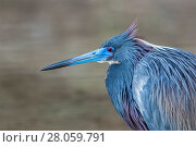 Купить «Tricolored heron (Egretta tricolor) male in full breeding plumage, Fort de Soto, Florida, USA. April.», фото № 28059791, снято 19 мая 2019 г. (c) Nature Picture Library / Фотобанк Лори