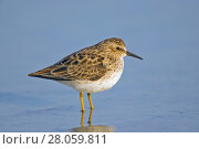 Купить «Least sandpiper (Calidris minutilla) adult coming into breeding plumage on passage to northern breeding area, Fort De Soto, Florida, USA. April.», фото № 28059811, снято 19 мая 2019 г. (c) Nature Picture Library / Фотобанк Лори