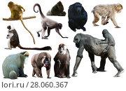 Купить «collection of different monkeys», фото № 28060367, снято 23 апреля 2019 г. (c) Яков Филимонов / Фотобанк Лори