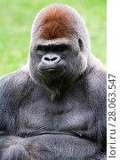 Купить «Male Silverback western lowland gorilla (Gorilla gorilla gorilla) portrait, captive, Beauval Zoo, France.», фото № 28063547, снято 24 июля 2019 г. (c) Nature Picture Library / Фотобанк Лори