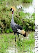 Black crowned-crane (Balearica pavonina) Masai Mara, Kenya. Стоковое фото, фотограф Enrique Lopez-Tapia / Nature Picture Library / Фотобанк Лори