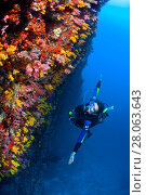 Купить «Diver swimming along a reef wall covered in colurful soft corals. South Male Atoll, Maldives. Indian Ocean. Model released.», фото № 28063643, снято 22 марта 2018 г. (c) Nature Picture Library / Фотобанк Лори
