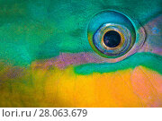 Купить «Bullethead parrotfish (Chlorurus sordidus) male, close up of eye, whilst sleeping at night. The Alternatives, Sinai, Egypt. Red Sea», фото № 28063679, снято 3 июля 2020 г. (c) Nature Picture Library / Фотобанк Лори