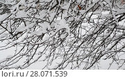 Купить «branches of bush covered with snow», видеоролик № 28071539, снято 31 января 2018 г. (c) Володина Ольга / Фотобанк Лори