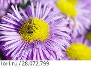 Купить «Пчела на цветке мелколепестника (лат. Erigeron)», фото № 28072799, снято 19 июля 2017 г. (c) Елена Коромыслова / Фотобанк Лори