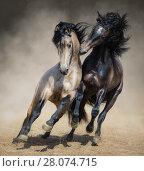 Купить «Два испанских жеребца играют в пыли», фото № 28074715, снято 1 мая 2017 г. (c) Абрамова Ксения / Фотобанк Лори