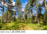 Купить «Forest with pine trees and pathway on a beautiful summer sunny day with blue sky and clouds», фото № 28094043, снято 9 августа 2017 г. (c) FotograFF / Фотобанк Лори