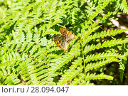 Купить «Two butterfly mating on green leaf of fern», фото № 28094047, снято 9 августа 2017 г. (c) FotograFF / Фотобанк Лори