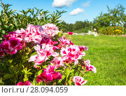 Купить «Flowers of godetia grandiflora at the garden in summer day», фото № 28094059, снято 14 августа 2017 г. (c) FotograFF / Фотобанк Лори