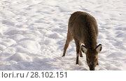 Купить «Female Sika deer sniffs food in the snow, close-up», видеоролик № 28102151, снято 24 февраля 2018 г. (c) Алексей Кузнецов / Фотобанк Лори