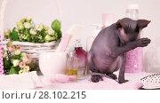 Купить «Two months old Don Sphinx kitty cat performing morning routine indoors», видеоролик № 28102215, снято 19 мая 2016 г. (c) Алексей Кузнецов / Фотобанк Лори