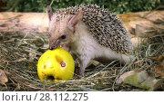 Купить «Little African hedgehog eating yellow apple in the grass», видеоролик № 28112275, снято 28 марта 2017 г. (c) Алексей Кузнецов / Фотобанк Лори