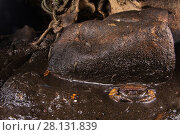Купить «Freshwater crab (Arachnothelphusa rhadamanthysi), an endemic species that lives in a single stream full of guano that exits from the Gomantong cave. Borneo, Sabah, Malaysia.», фото № 28131839, снято 17 августа 2018 г. (c) Nature Picture Library / Фотобанк Лори